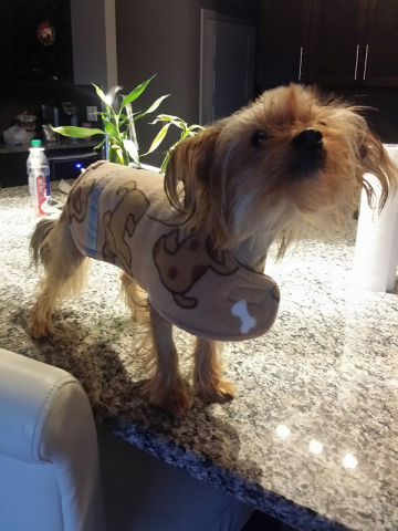 crested_yorkie_coat.png