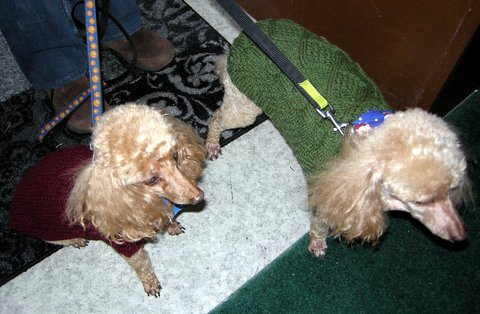 poodles_sweaters.png